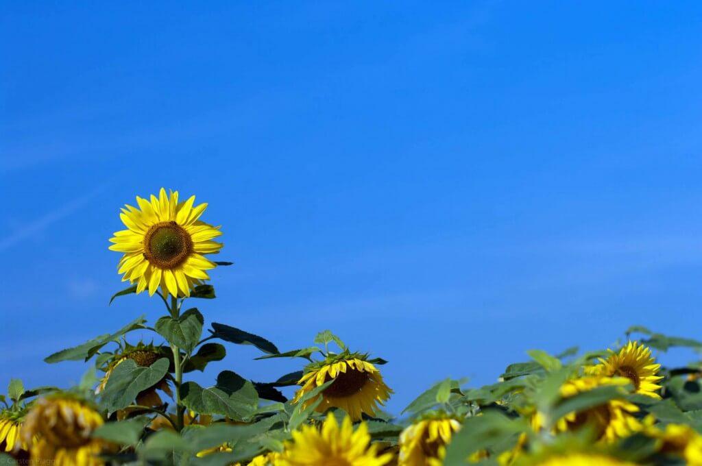 Herausragende Sonnenblume