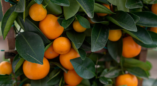 Orange Früchte