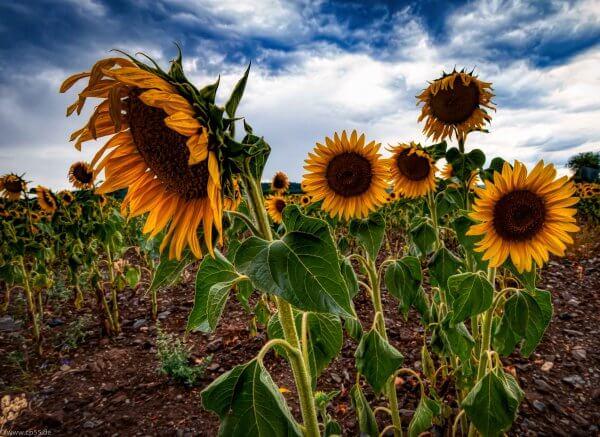 Sonnenblumenfeld HDR