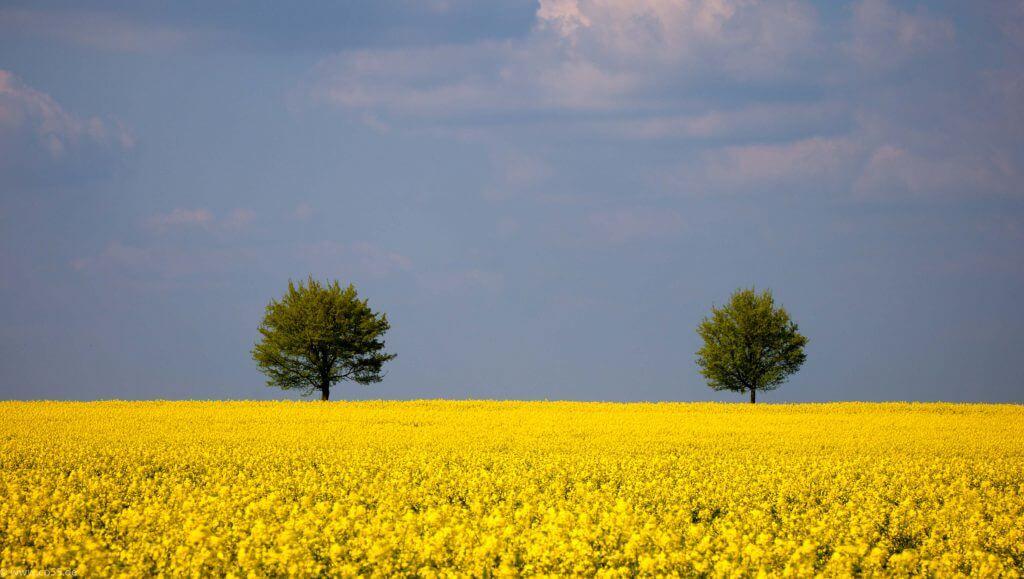Bäume hinter gelben Raps
