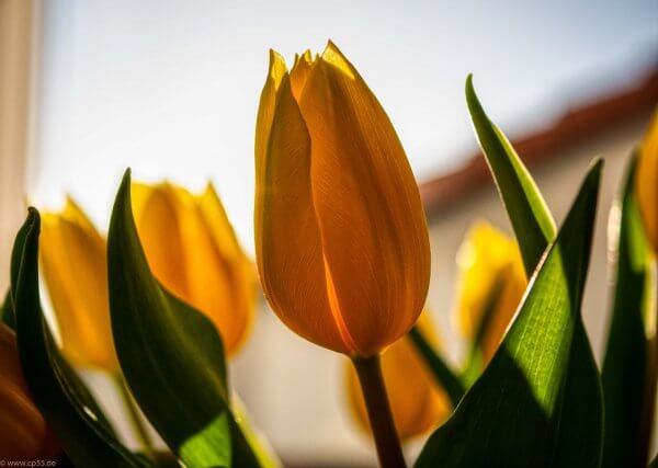 Gelbe Tulpe im gegenlicht