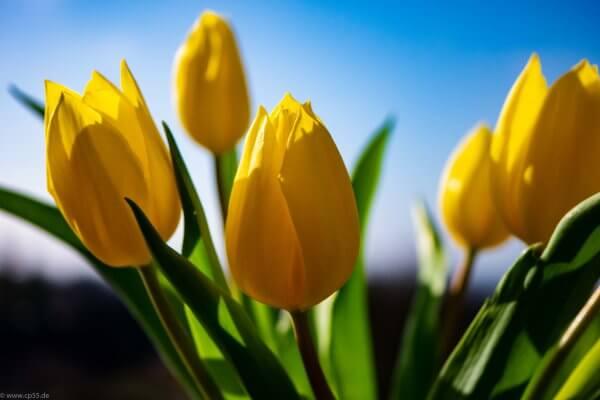 gelbe Tulpen blauer Himmel
