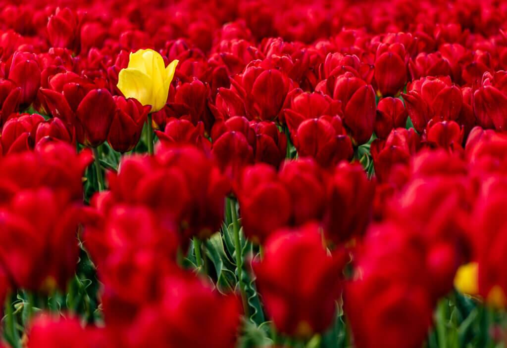 Eine Gelbe Tulpe