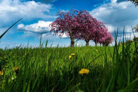 Kirschblüte am Huy